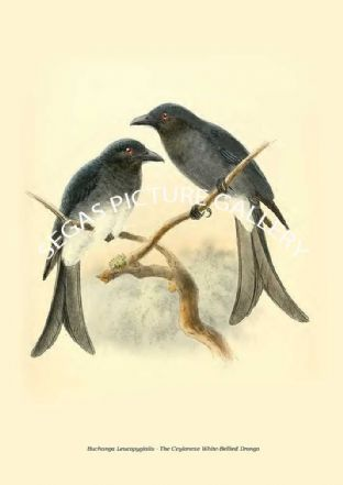BUCHANGA LEUCOPYGIALIS - THE CEYLONESE WHITE-BELLIED DRONGO